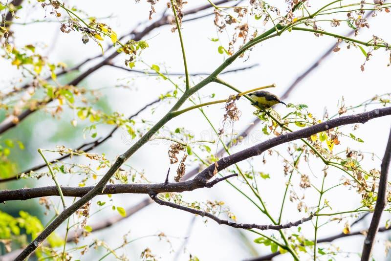 Brown-throated Sunbird or Plain-throated Sunbird on a tree branch. Brown-throated Sunbird or Plain-throated Sunbird, Olive backed sunbird Yellow bellied sunbird stock photo