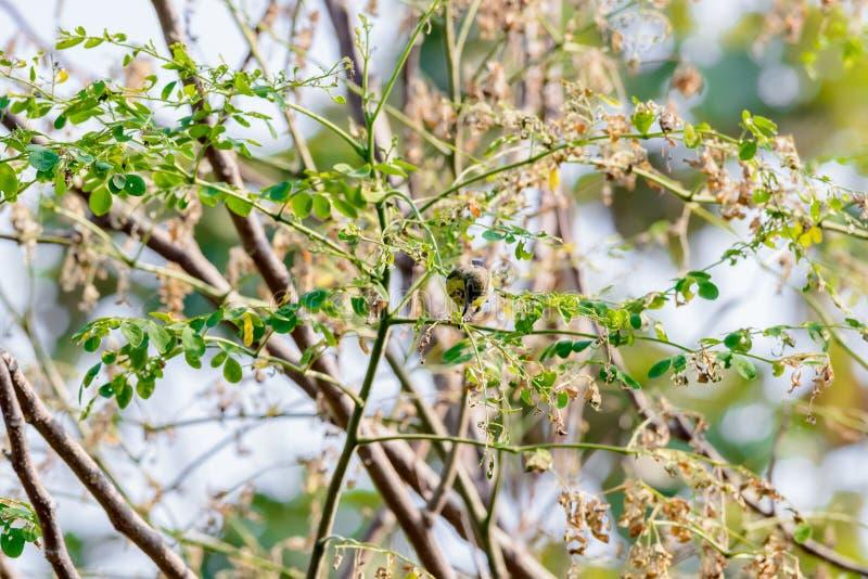 Brown-throated Sunbird or Plain-throated Sunbird on a tree branch. Brown-throated Sunbird or Plain-throated Sunbird, Olive backed sunbird Yellow bellied sunbird royalty free stock photos