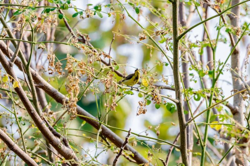 Brown-throated Sunbird or Plain-throated Sunbird on a tree branch. Brown-throated Sunbird or Plain-throated Sunbird, Olive backed sunbird Yellow bellied sunbird stock photography