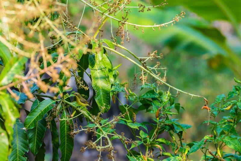 Brown-throated Sunbird or Plain-throated Sunbird on a tree branch. Brown-throated Sunbird or Plain-throated Sunbird, Olive backed sunbird Yellow bellied sunbird royalty free stock photography