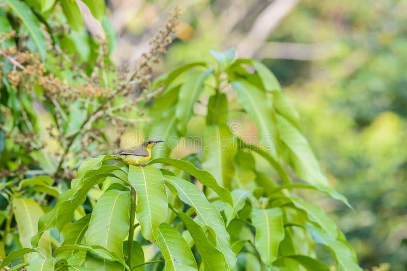 Brown-throated Sunbird or Plain-throated Sunbird on a tree branch. Brown-throated Sunbird or Plain-throated Sunbird, Olive backed sunbird Yellow bellied sunbird royalty free stock image