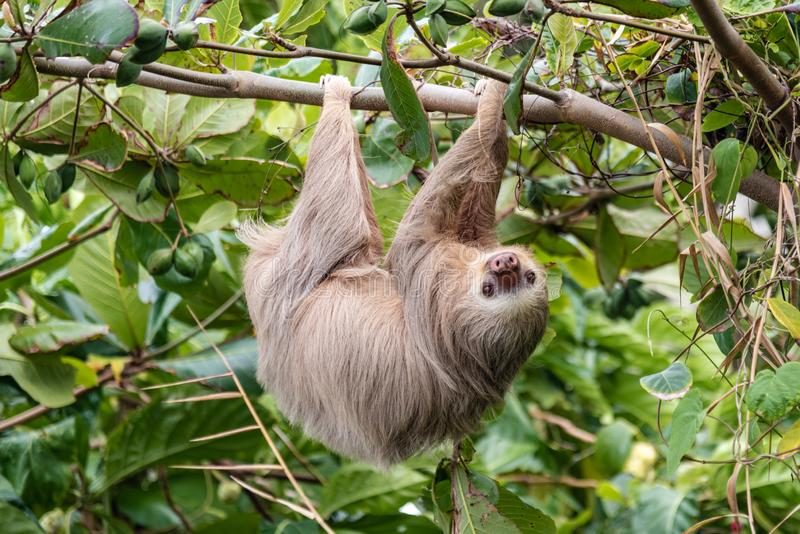 Brown-throated three-toed sloth Bradypus variegatus in the wild, forest of Costa Rica, Latin America royalty free stock images