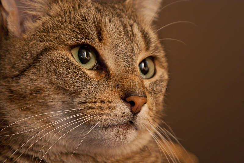 Brown Tiger Portrait images libres de droits
