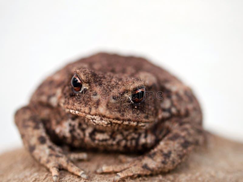 Download Brown toad stock photo. Image of body, croak, macro, feet - 25244228