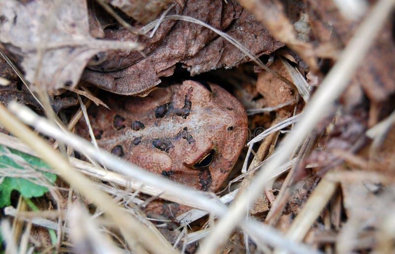 Brown Toad Hiding stock photos