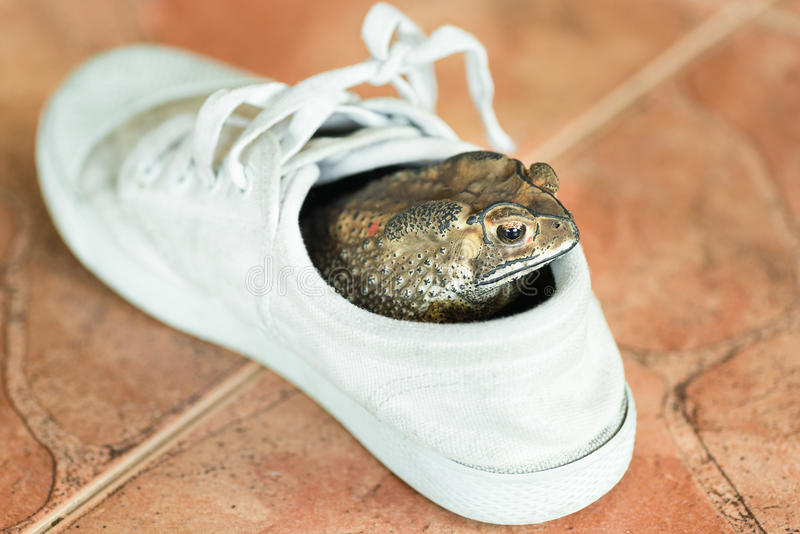 Brown toad. Hiding in white shoe stock images