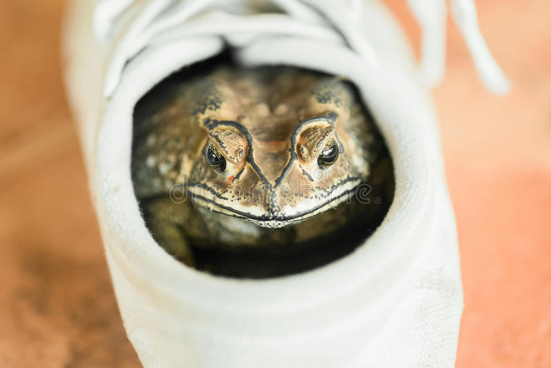 Brown toad. Hiding in white shoe stock image