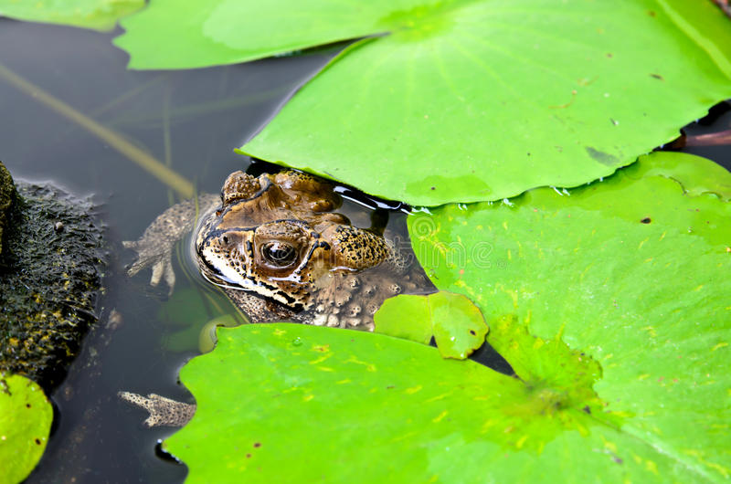 Brown toad in a lily pond