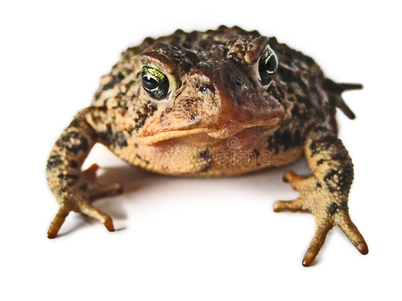 Brown Toad Macro. A macro view of a brown toad isolated on a white background royalty free stock image