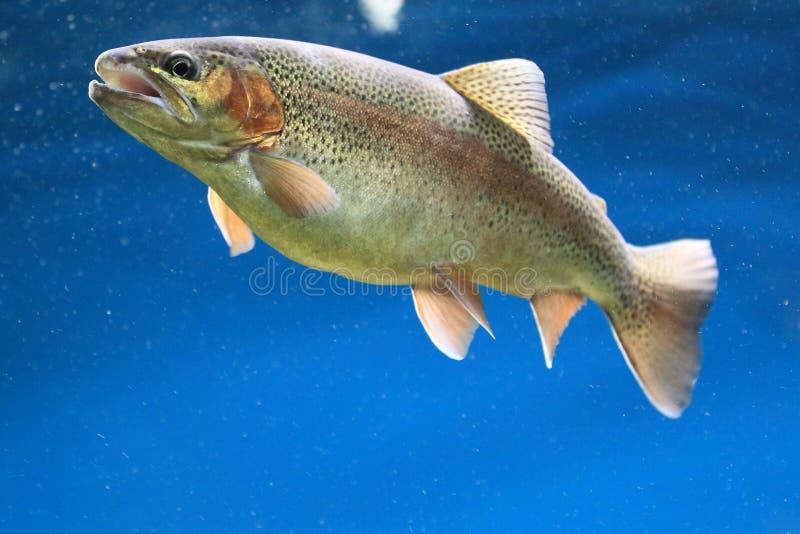 Download Brown tout stock image. Image of brown, tout, salmonid - 27703819