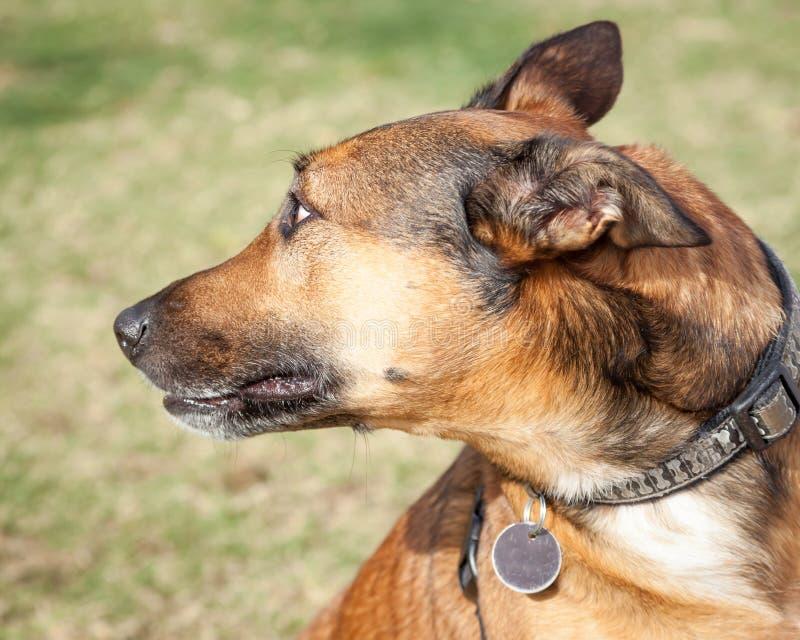Brown très effrayé et chien noir regardant derrière se photos libres de droits