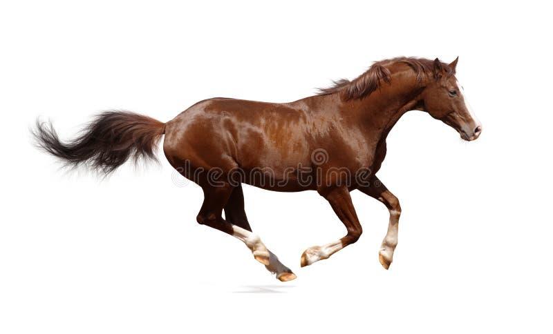 Brown trakehner stallion stock photo