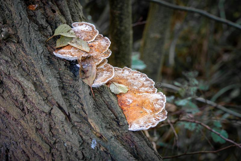 Brown tree fungus grows on a fallen tree trunk. A brown tree fungus grows on a fallen tree trunk royalty free stock images