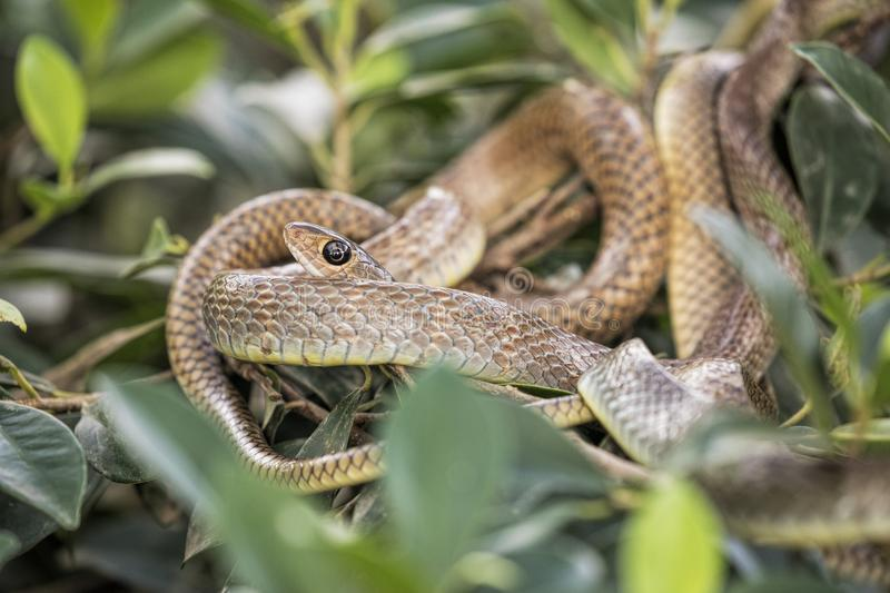 Brown tree snake in a snake farm in southern Vietnam royalty free stock image