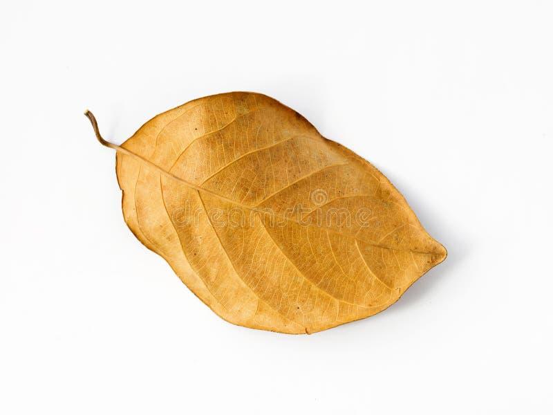 Brown-trockenes Blatt auf einem weißen Hintergrund stockfotografie