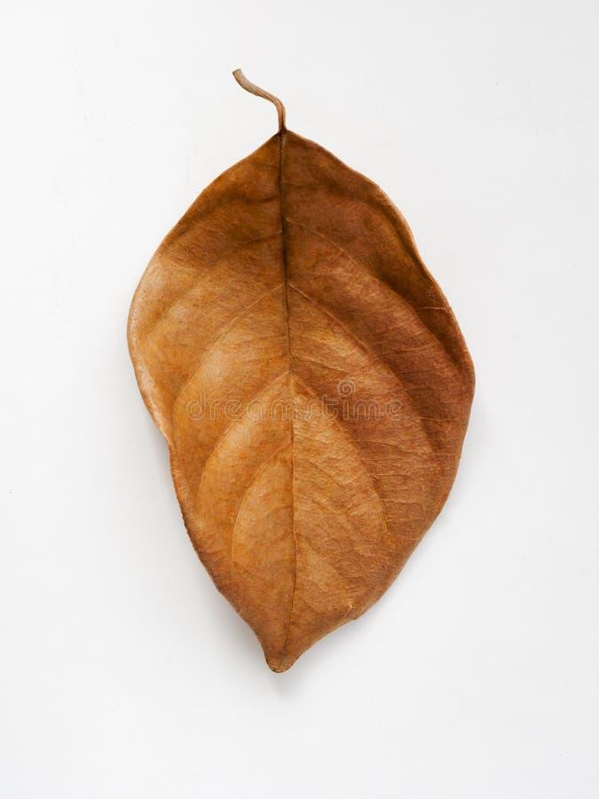 Brown-trockenes Blatt auf einem weißen Hintergrund stockfoto