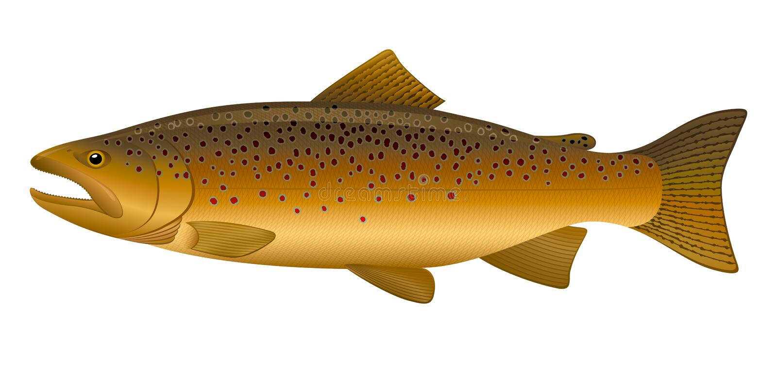 Download Brown Trout stock vector. Image of vector, freshwater - 17280687