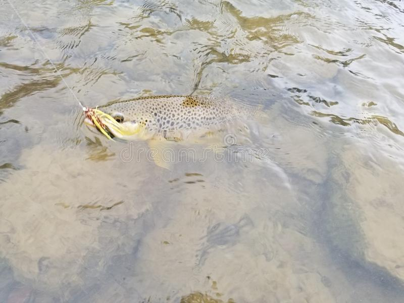 Brown trout royalty free stock photography
