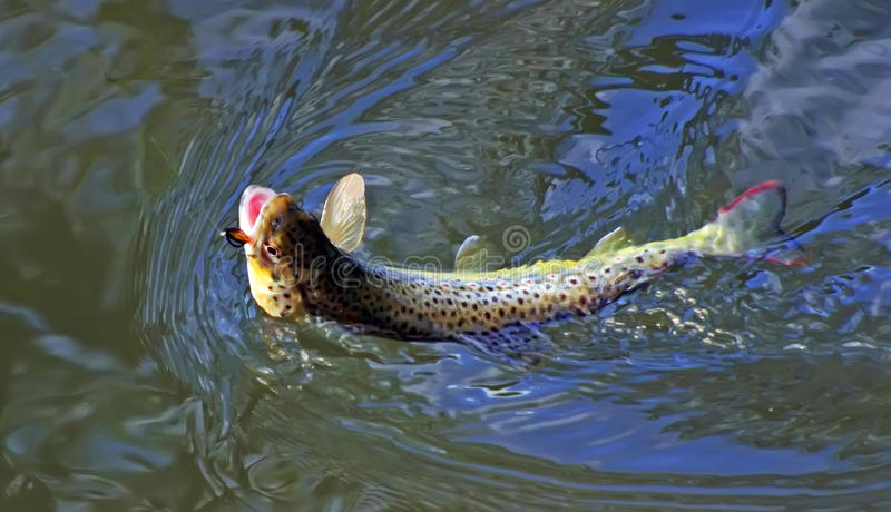 Brown trout caught on fly royalty free stock photo