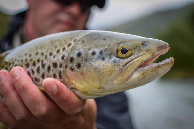 Brown Trout Mataura River stock photography