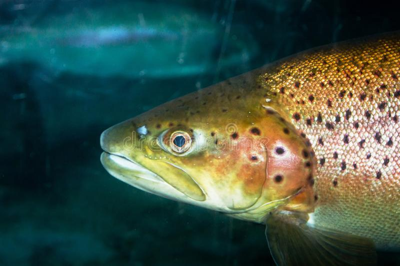 Brown trout Salmo trutta. The brown trout Salmo trutta is a European species of salmonid fish that has been widely introduced into suitable environments globally stock photos