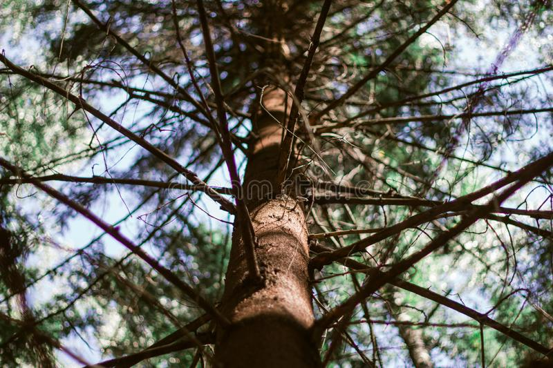 The brown trunk of the pine tree and branches. Bottom view of the pine tree. Look down at the green pine. The brown trunk of the pine tree and branches. Bottom stock photography