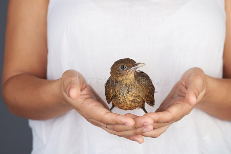 Brown trush ptak w ręce fotografia stock