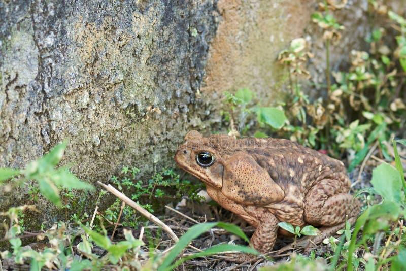 Brown trzciny kumaka gruba żaba zdjęcie royalty free