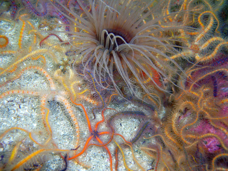 Brown Tube-dwelling Anemone surrounded by Spiny Brittle Stars stock images