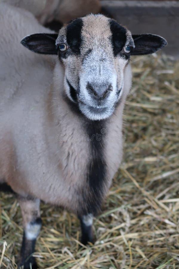 Brown und schwarze Schafe in WrocÅ-'Aw-Zoo, im Dezember 2017 stockfoto