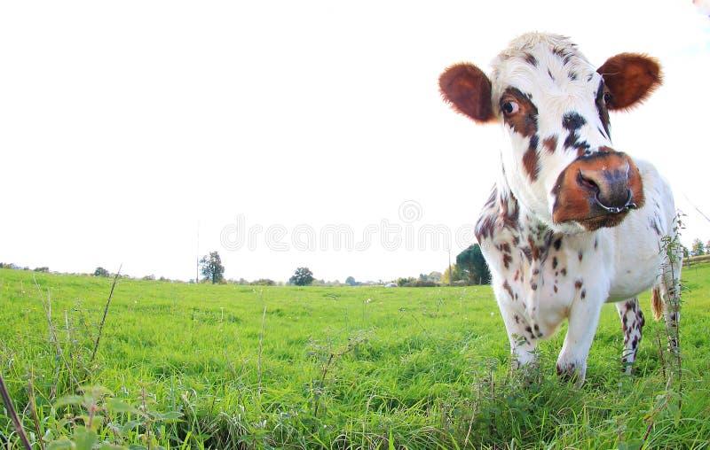 Brown und Weiß beschmutzten Kuh, Zucht Normande, Frankreich lizenzfreies stockfoto