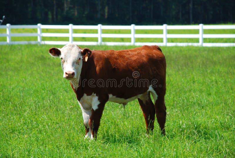 Brown und weiße Kuh stockfotografie