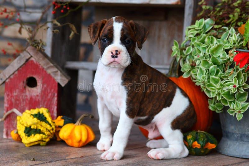 Brown und weißer Boxerwelpe, die mit Herbstdekorationen sitzen lizenzfreies stockbild
