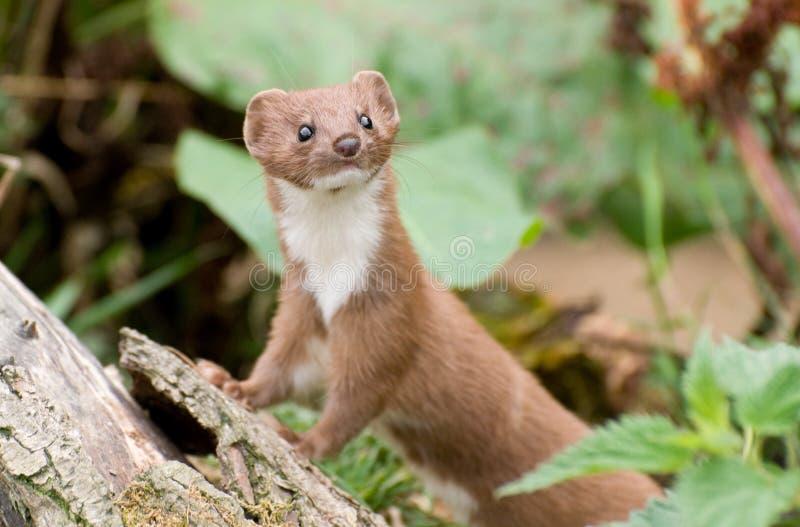Brown und weißer Weasel lizenzfreie stockfotografie