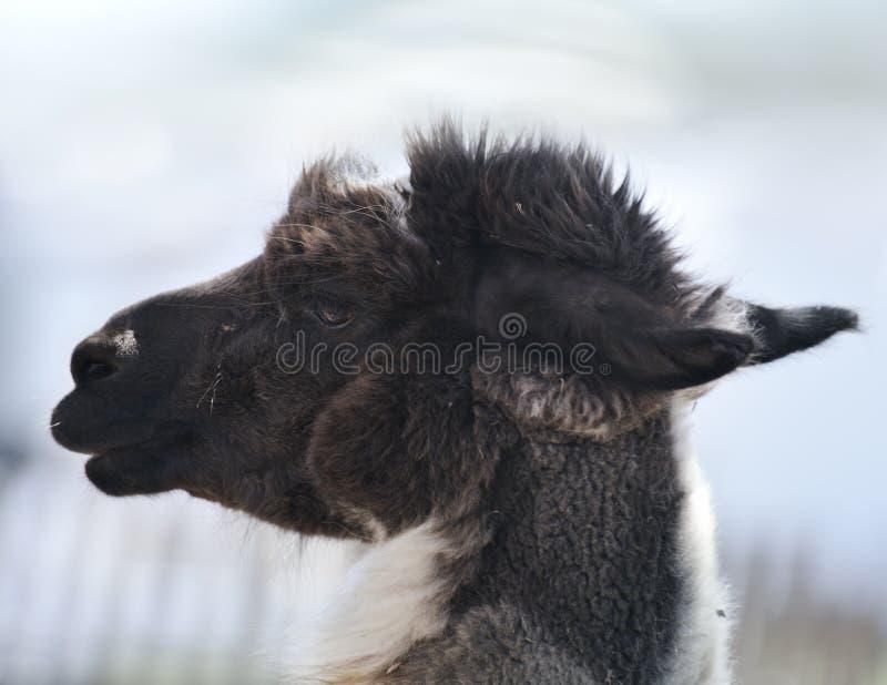 Brown und weißes Alpaka stockfotografie