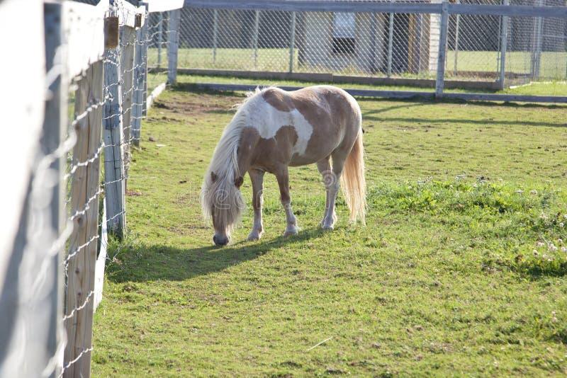 Brown und weißes Pony mit Zaun stockbilder