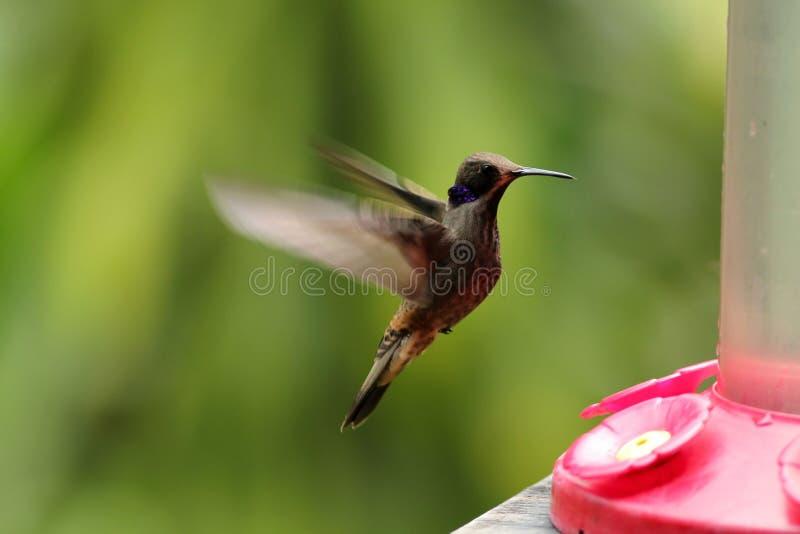 Brown Violetear, Colibri delphinae royalty free stock photo