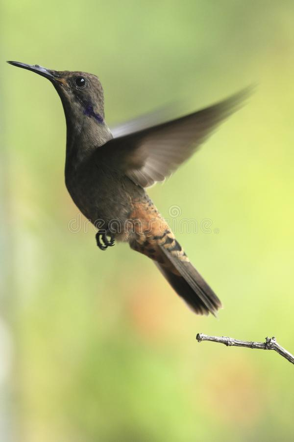 Brown violetear Colibri delphinae hummingbird taking off a branch royalty free stock photo