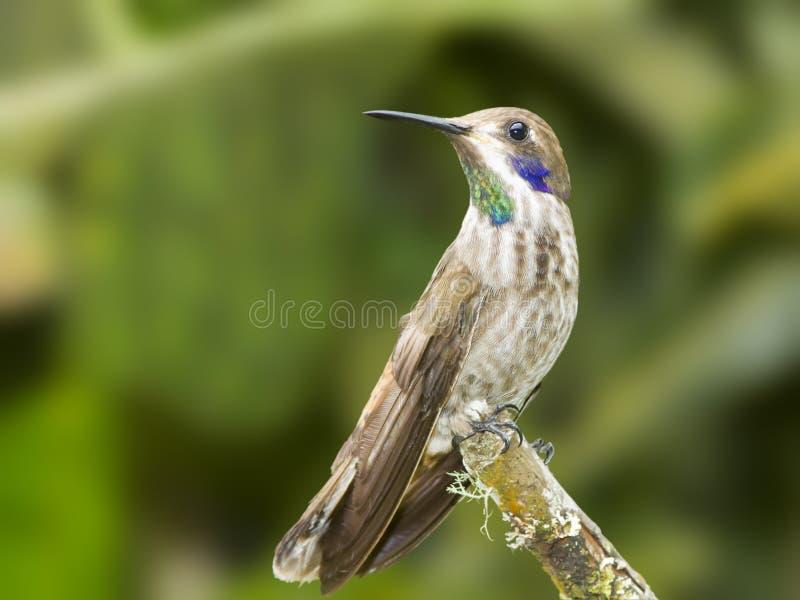 Brown Violetear Hummingbird royaltyfria bilder