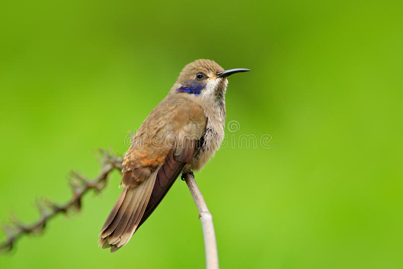 Brown-Violett-Ohr, Colibri-delphinae, Kolibrivogelfliegen nahe bei schöner rosa Blume, netter geblühter orange grüner Hintergrund stockfoto