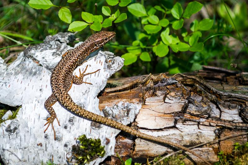 Brown Viviparous lizard Zootoca vivipara climbed on a white tree bark, camouflaged near the tree`s brown root and green leaves. Close up/macro of this European stock photography