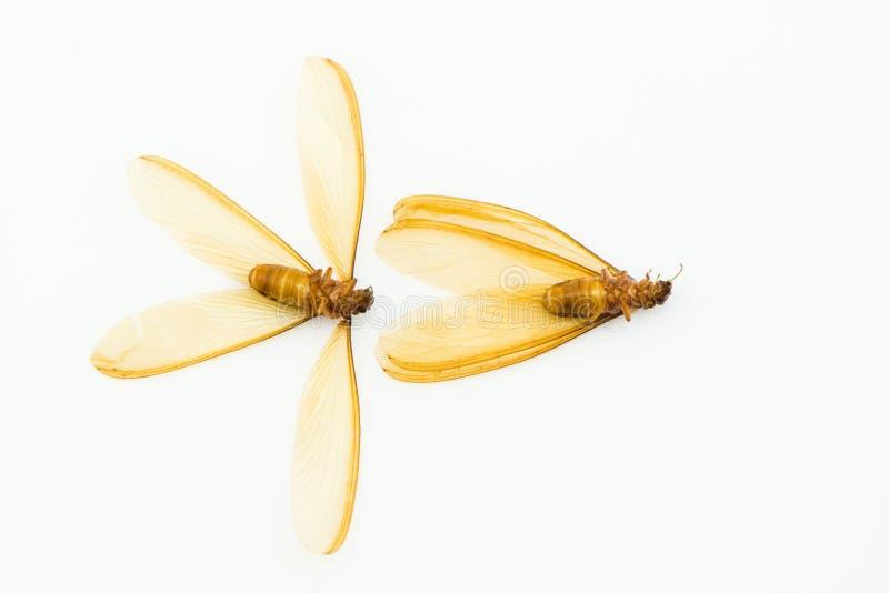 Brown voou a térmita (alate) isolada no fundo branco fotos de stock