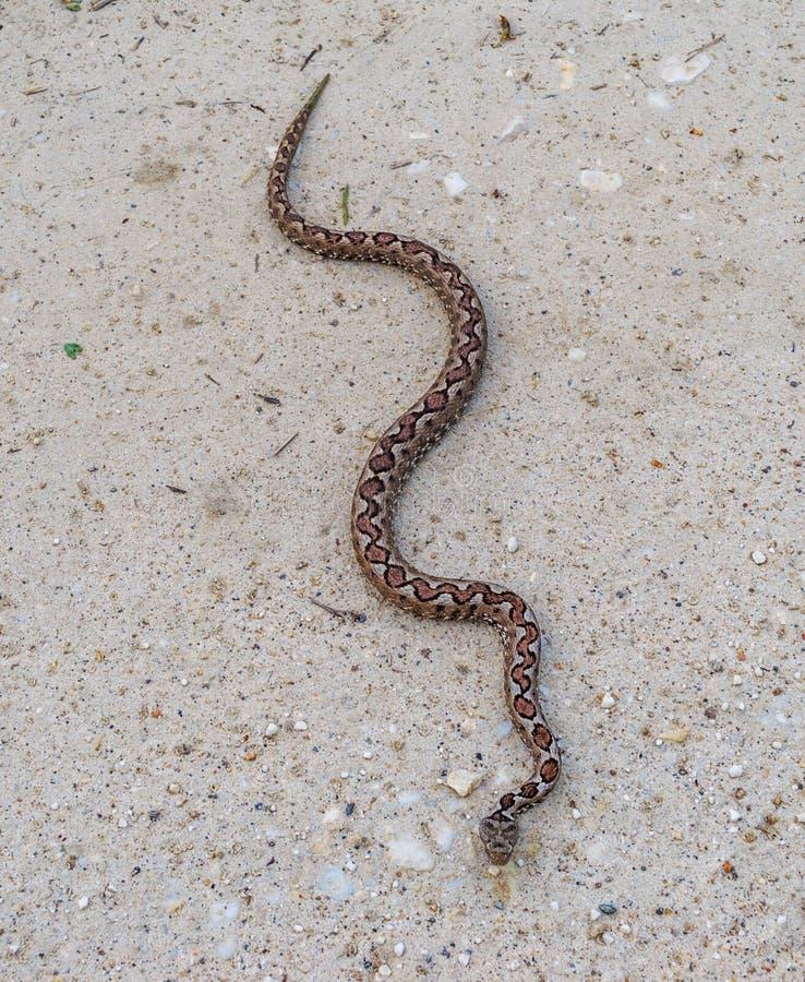Brown wąż zdjęcia stock