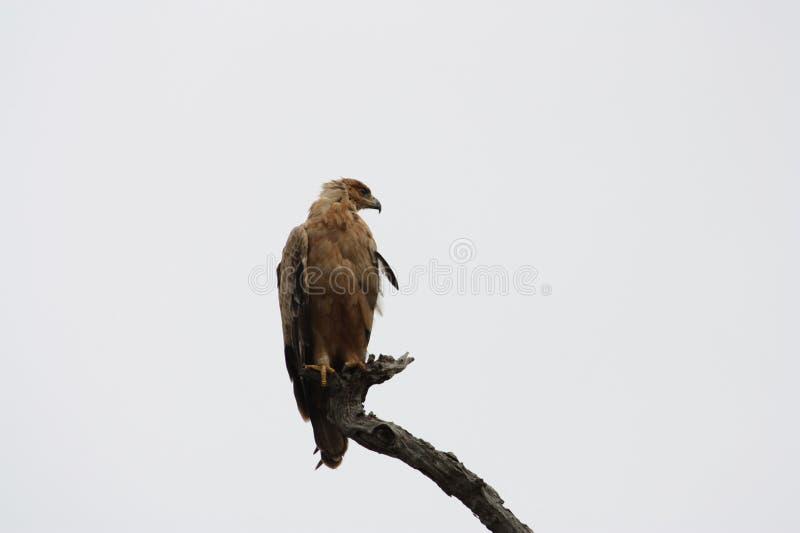 Brown wąż Eagle na ostrzeżeniu obrazy stock