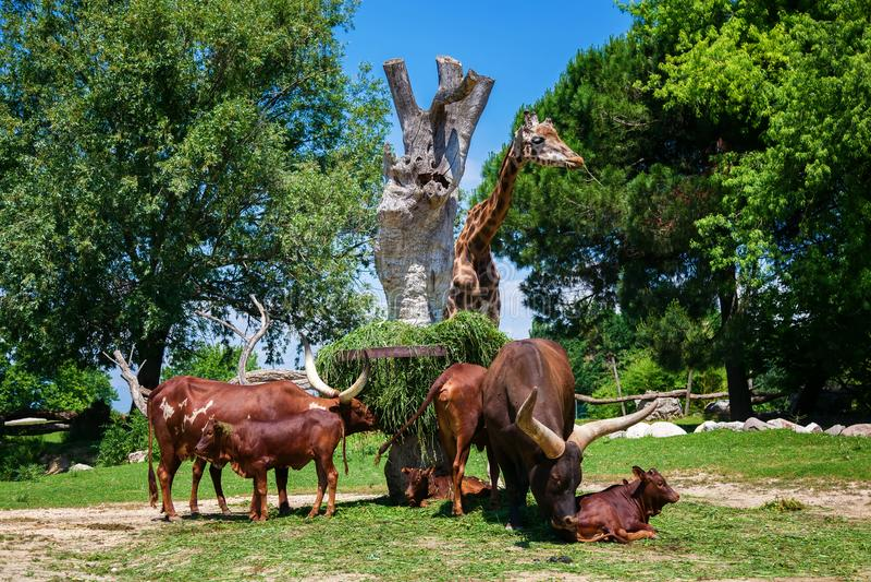 Brown Watusi byki i żyrafa zdjęcie royalty free