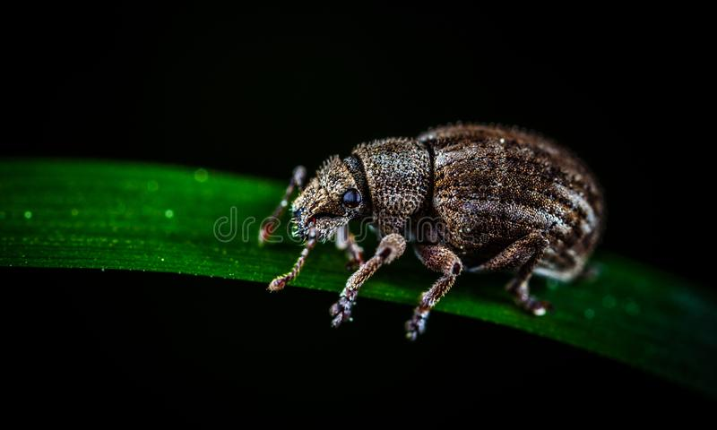 Brown Weevil Perched on Green Leaf in Closeup Photo stock image