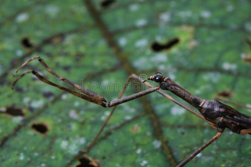 Brown, well camouflaged praying mantis with a beautiful leaf background stock images