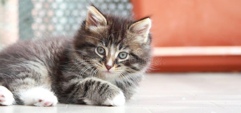 Brown-Welpe der Katze, sibirische Zucht lizenzfreie stockfotos