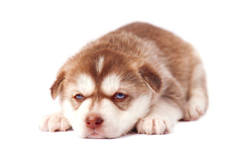 Brown-Welpensibirischer husky, auf weißem Hintergrund lizenzfreies stockfoto