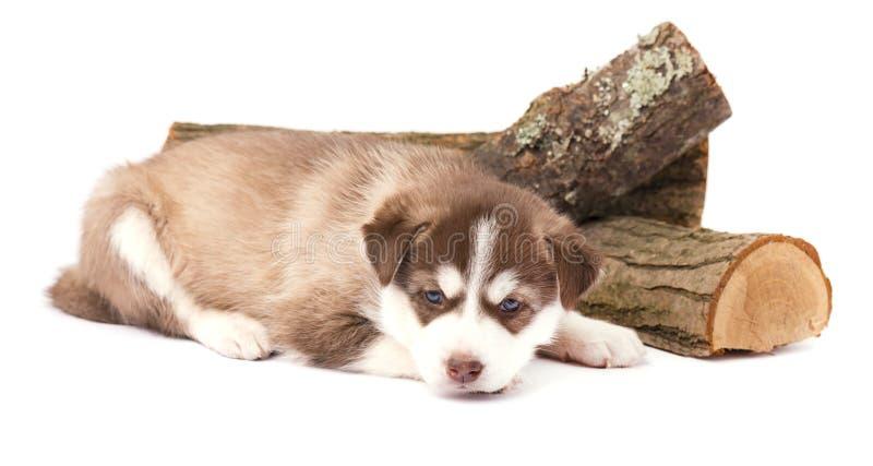 Brown-Welpensibirischer husky mit dem Lügen der blauen Augen, lokalisiert auf weißem Hintergrund stockbilder